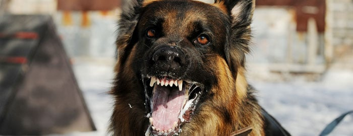 violent dog ready to attack