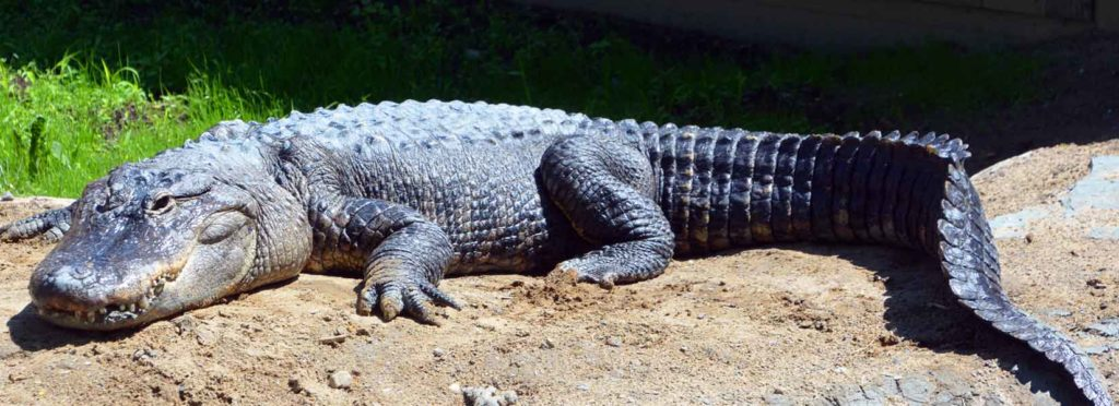 Man Airlifted To a Hospital After Alligator Attack